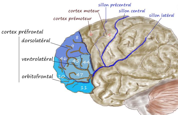 Une pratique assidue vous permet d'atteindre la très haute performance en modifiant le fonctionnement de votre cerveau